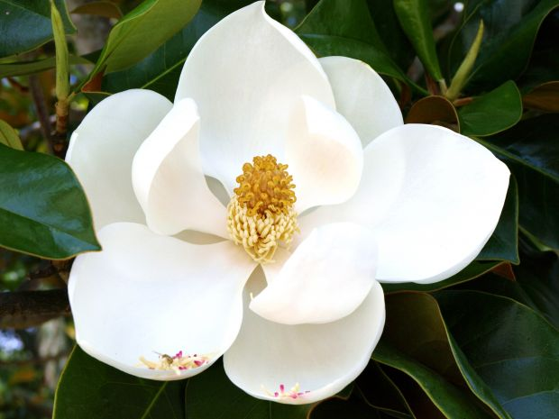 magnolija gajenje