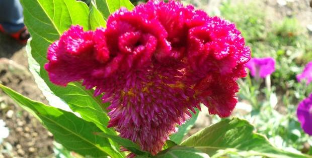 Petlova kresta – Celosia, biljka šarenolikih cvetova