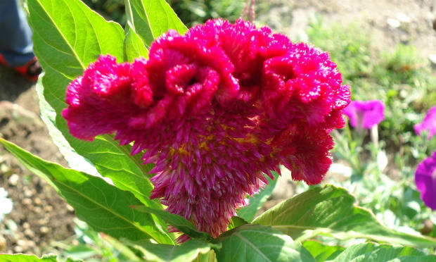 petlova kresta cvece