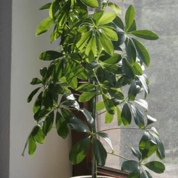 Šeflera – Kišobran drvo