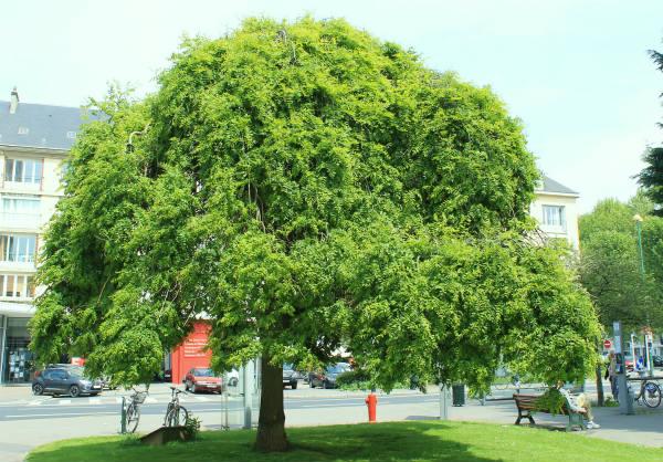 sofora drvo