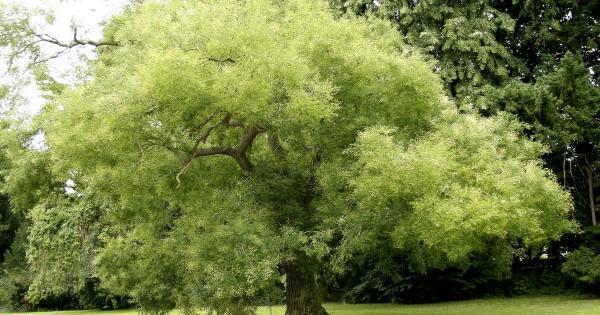 Sofora listopadno drvo, medonoša dekorativnih listova