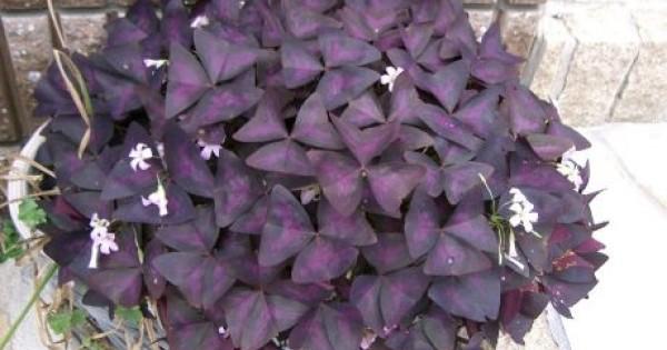 Ukrasna detelina, prelepa dekorativna biljka, ukras svakog vrta